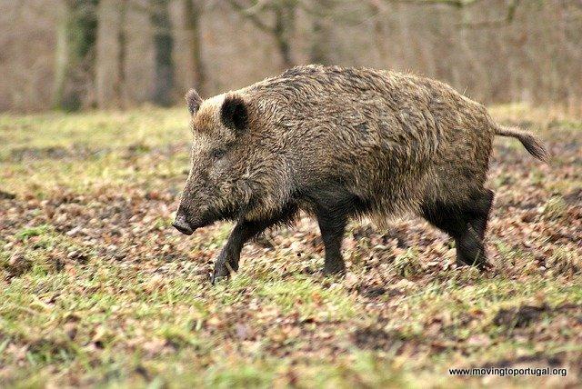 Javali - wild boar