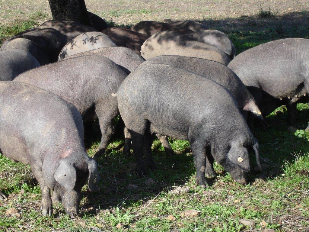 Porco preto piggies